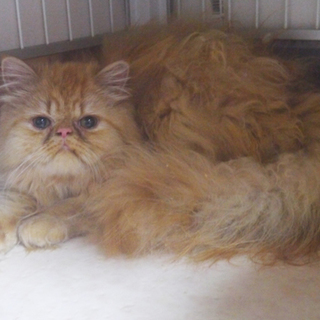 募集一時停止 ペルシャ猫 カメオタビー♂モフ君