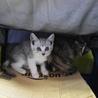 子猫姉妹2匹、里親募集