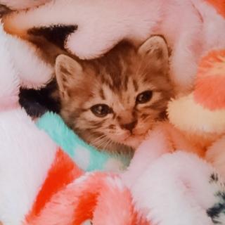 レスキュー赤ちゃん猫1ヶ月半くらいの女の子