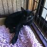 魔女の宅急便のジジ似の黒猫3兄妹、妹を募集します。 サムネイル5