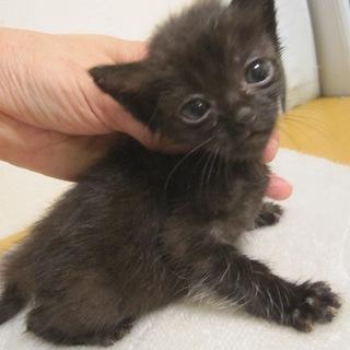 かわいいクリクリお目目の黒猫みがく君 離乳中