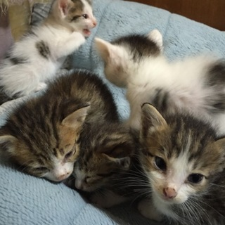 生後1ヶ月の子猫5匹兄弟