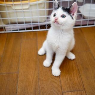 前髪短めのハチワレ美猫ちゃん