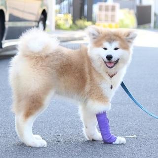 愛らしい秋田犬の仔犬です。
