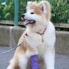 愛らしい秋田犬の仔犬です。 サムネイル3