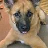お顔はりりしいですが…よく遊ぶ、賢い子犬です サムネイル2