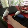 白文鳥2羽譲ります。(兄弟)