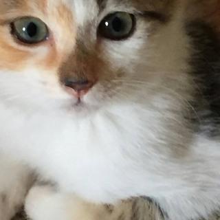 甘えん坊の三毛猫ちゃん 女の子