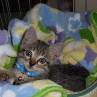 キジ猫♥子猫2ヶ月くらい元気いっぱい可愛いです