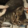 生後1ヶ月未満の子猫です! サムネイル4