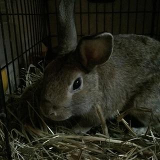 かわいいウサギの里親募集!
