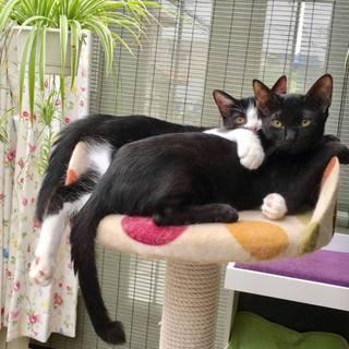 黒とハチワレの仲良し子猫兄弟ペアで