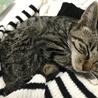 アメリカンショート似の子猫 サムネイル2