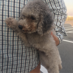 プードルの迷子犬を保護しています