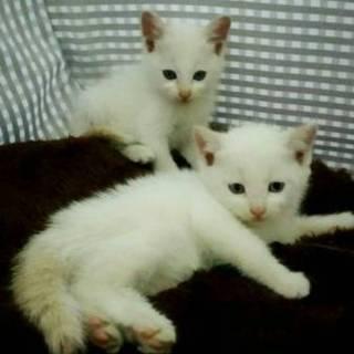 白猫ちゃん姉妹です。生後1ヶ月