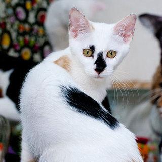 美形の白三毛/鼻黒