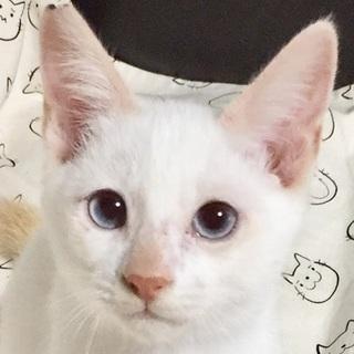青い瞳の王子さま☆シャムミックスじゅん君