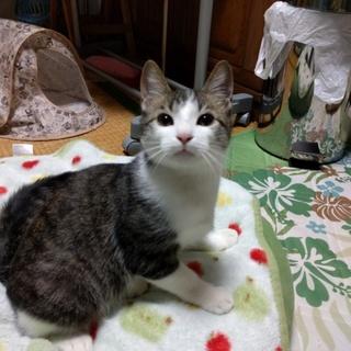 美猫のキジシロくん