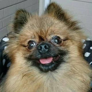 美犬☆ポメラニアン♀ミーシャ