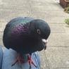 人懐こい土鳩のキョウダイです。(黒っぴー)