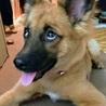 お顔はりりしいですが…よく遊ぶ、賢い子犬です サムネイル6