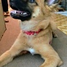 お顔はりりしいですが…よく遊ぶ、賢い子犬です サムネイル7