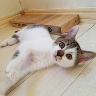 白キジ猫光彦くん☆ワクチン済み