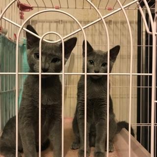 ロシアンブルー オス2匹  双子 5ヶ月