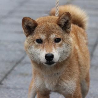 豆芝サイズの柴犬 応募多数のため一時停止