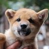 優良血統の柴犬の子犬 応募多数のため一旦終了