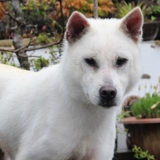 紀州犬 ショータイプの美犬 1歳