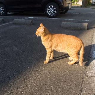 去勢済みのトラ猫。人懐っこいです。