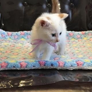 ブルーアイ 絶世のハンサムボーイ 萌える仔猫