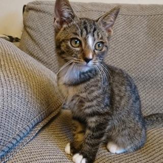 生後約2か月甘えん坊なキジトラの男の子です