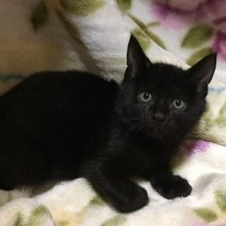 【10/22東日本橋】2ヶ月♡可愛い黒子猫ちゃん