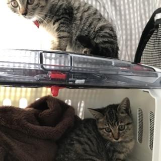 小さなキジトラ子猫姉妹