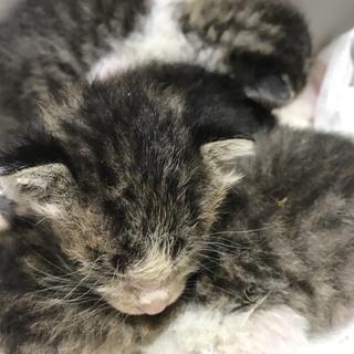 子猫3匹 キジネコ
