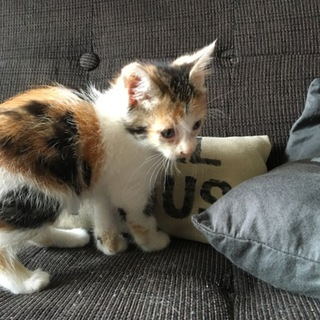 1ヶ月半 三毛猫 女の子