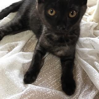 スモークブラックの可愛い女の子♀5~6ヶ月