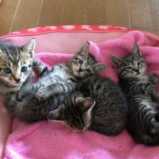 きじとら4匹産まれました!里親さん募集