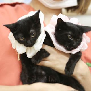 2ヶ月の黒猫兄妹です すごく可愛いです!馴れてます