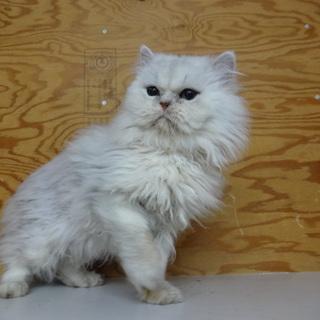 ペルシャ猫 男の子