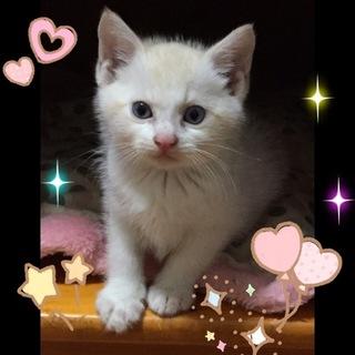 シャム系の可愛い仔猫
