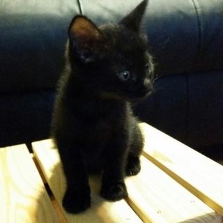 黒猫ちゃんの男の子♪生後1ヶ月半くらい