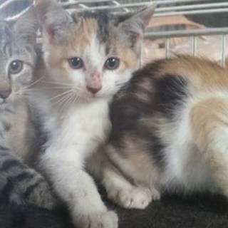 三毛猫の女の子 生後2ヶ月くらい
