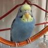 セキセイインコの幼鳥(里親様決まりました!)