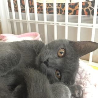艶々グレーゴロゴロ子猫の灰原さん