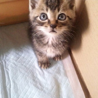 生後一ヶ月の子猫の里親募集です⑤