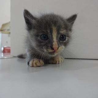 おとなしくて可愛い子猫の里親募集!