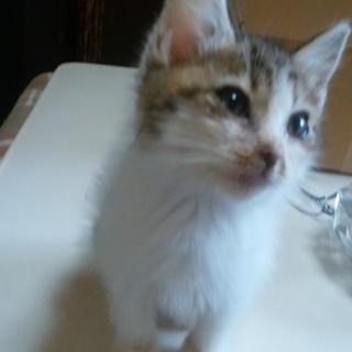 キジトラ模様子猫です。